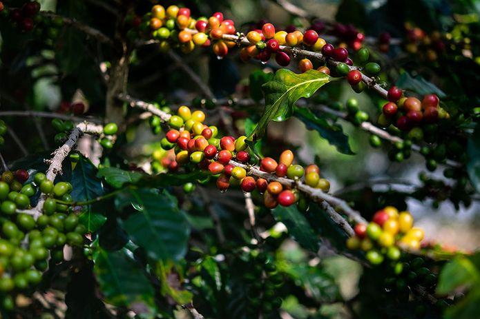 Kaffeepflanze, Kaffeestrauch